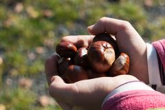Girl is holding some ripe chestnuts in her hands. After autumn harvest. Shallow depth of field, selective focus with nice bokeh Stock Photo