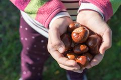 Girl is holding some ripe chestnuts in her hands Stock Image