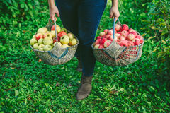 Girl holding two large baskets of apples Stock Image