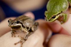 Girl holding two Oregon tree frogs close up. Girl holding two tiny Oregon tree frogs, one brown, one green, shallow depth of field Royalty Free Stock Photos
