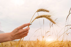 Girl holding wheat ears in hand on sunset background Royalty Free Stock Photography