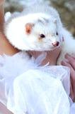 Girl holding a white ferret Stock Photos