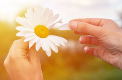 A girl holds chamomile in hand. Big white Daisy with yellow world-renowned place. Health and beauty concept Royalty Free Stock Photography