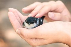 A nestling in the hands of a girl. care of the mother. royalty free stock image