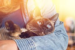 Girl holds in his hands a beautiful Siamese cat Royalty Free Stock Photo
