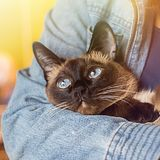 Girl holds in his hands a beautiful Siamese cat Stock Photos