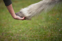 Girl holds a hoof of horse Royalty Free Stock Photo