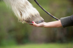 Girl holds a hoof of horse Stock Photo