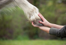 Girl holds a hoof of horse Royalty Free Stock Image