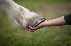 Girl holds a hoof of horse Stock Photography