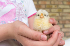 Girl holds small yellow chick in the hands Royalty Free Stock Images