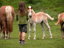 Girl and horses. Girl approaches young foal Royalty Free Stock Photo