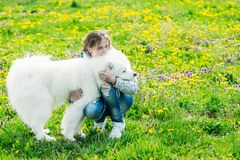 A girl hugging a dog samoyed on a green background. Gomel, Belar stock photography