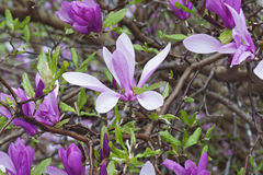Girl hybrid magnolia Ann. (Magnolia x hybrid Ann). Hybrid between Magnolia liliiflora and Magnolia stellata royalty free stock photo