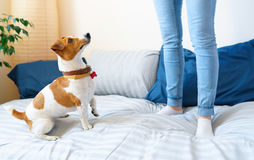 Girl jumping on bed together with dog jack russell terrier. Woman jumping on bed together with dog jack russell terrier royalty free stock image