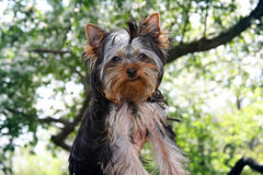 Girl and  little Yorkshire Terrier Royalty Free Stock Photo