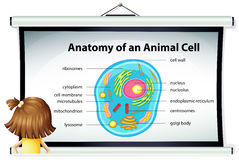 Girl looking at diagram of animal cell Royalty Free Stock Photos