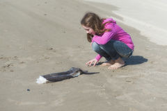 Girl looks closely at remains of fish. A young girls looks closely at the remains of a Lancet fish that washed ashore at Pacific City on the Oregon Coast Stock Image