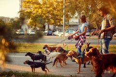 Girl and man dog walker with dogs enjoying in walk stock photos