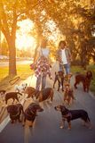 Girl and man walker walking with a group dogs in the park stock images