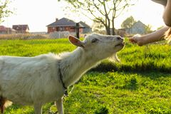 Girl in meadow feeding goat. Spring and summer royalty free stock photos
