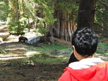 Girl met wild brown bear in forest. At Sequoia National Park Stock Photos