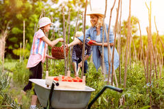 Girl with mother gather tomatoes. In garden royalty free stock images