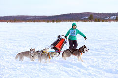 The girl the musher with draft dogs Royalty Free Stock Image