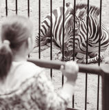 Girl near a cage with zebra in zoo Stock Photos