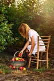 A girl in orchard pick apples in basket. A girl with white dress in apple garden pick apples in basket Stock Photo
