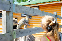 Girl and ostriches Royalty Free Stock Photo