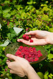 Girl pick raspberries in a glass bowl Royalty Free Stock Photo
