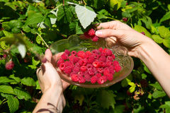 Girl pick raspberries in a glass bowl Stock Image