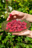 Girl pick raspberries in a glass bowl Royalty Free Stock Images