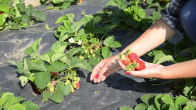 Girl pick strawberry Stock Photo