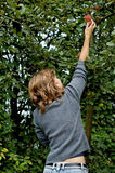 Girl picking an apple. Beautiful girl picking an apple out of an apple tree stock photo