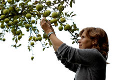 Girl picking an apple on white. Beautiful girl picking an apple out of an apple tree. On white background stock images