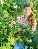 Girl picking apples Stock Images
