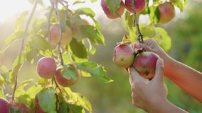 Girl picking apples from the tree. The sun shines through the apple tree stock footage