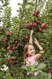 Girl picking apples Royalty Free Stock Images