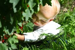 Girl picking berries Stock Images