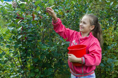 Girl picking berries in garden. Girl teenager picking chokeberry in green garden and smiling Royalty Free Stock Photos