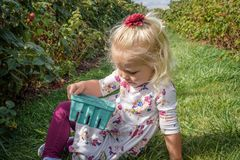 Little girl in a raspberry patch holding a quart basket of raspb Royalty Free Stock Images