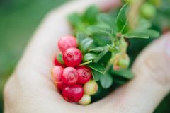 Girl picking berries in the woods. Wild cowberry foxberry, lingonberry with leaves. royalty free stock images