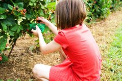 Girl Picking Blackberries. Young girl sitting on the ground picking blackberrries Royalty Free Stock Photography