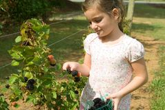 Girl Picking Blackberries royalty free stock photography