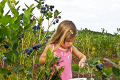 Girl picking blueberries. Child picking berries on a blueberry field Royalty Free Stock Photography