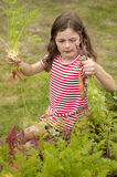 Girl picking carrots in vegetable garden Royalty Free Stock Images