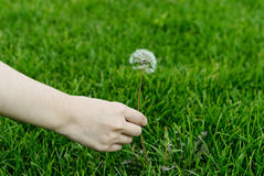 A girl is picking a dandelion Royalty Free Stock Images