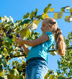 Girl picking grape in the garden Royalty Free Stock Image